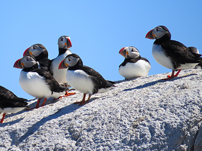 Puffins at Matinicus Rock