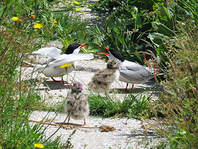 Terns and chicks